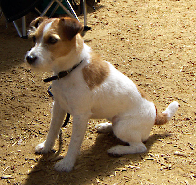 Types of russell terrier
