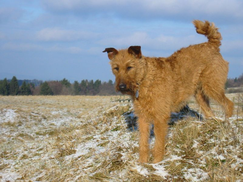 airedale terrier mix photos