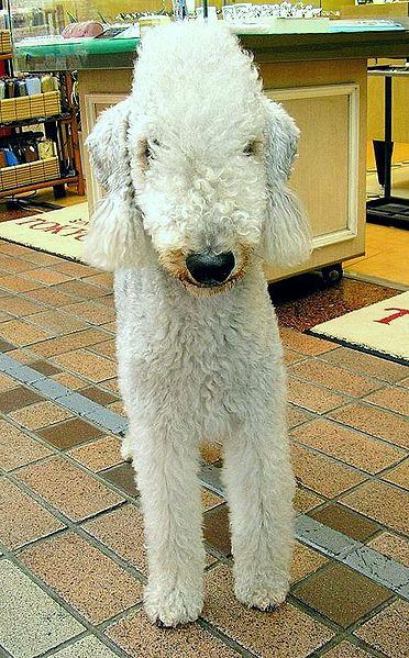 Bedlington Terrier Melbourne Facts About The Bedlington