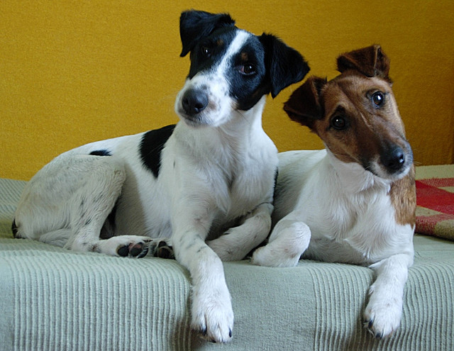 What Are The Ways to Identify Terrier Dog Breeds? | myterrierdog.info